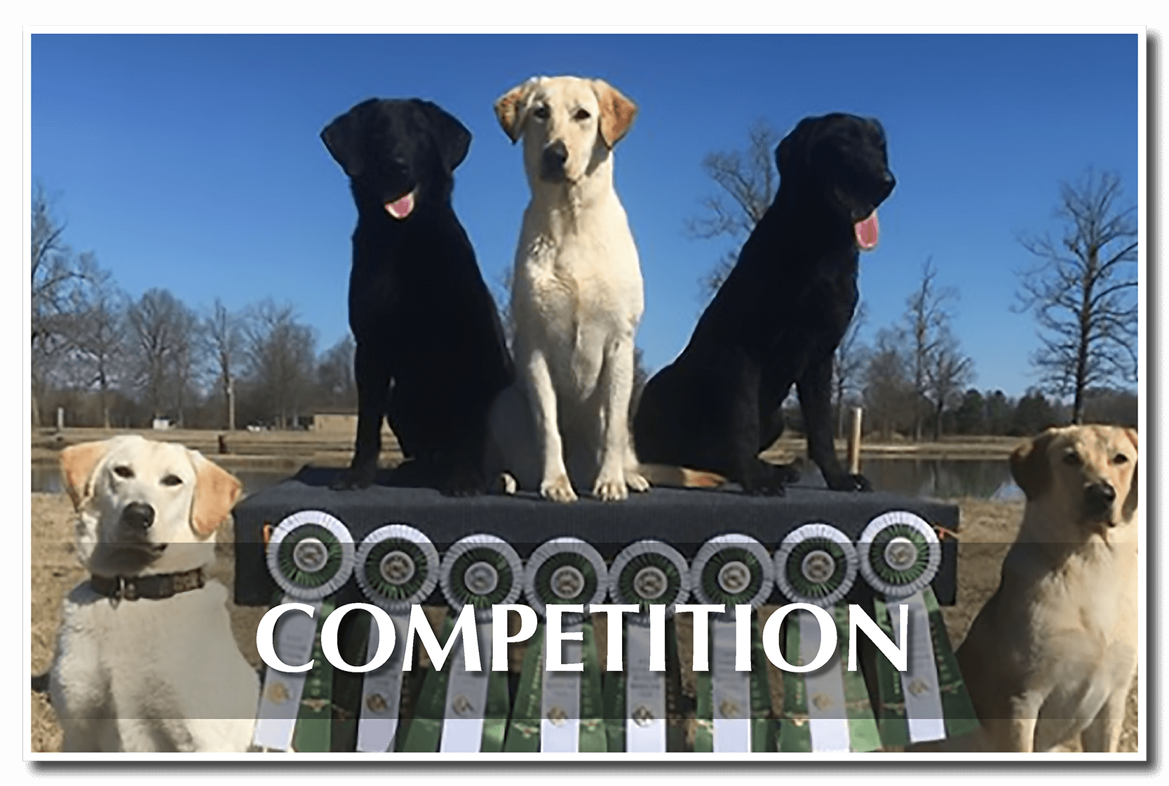 Competition Dogs