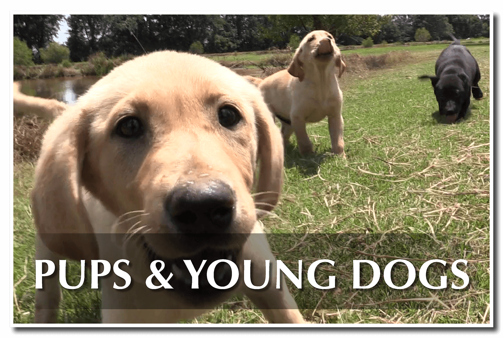 Puppies and Young Dogs